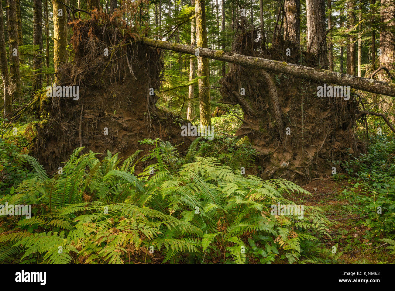 Fern fronds, roots of fallen trees on Sheppard Trail, temperate rainforest near Quathiaski Cove, Quadra Island, - Stock Image