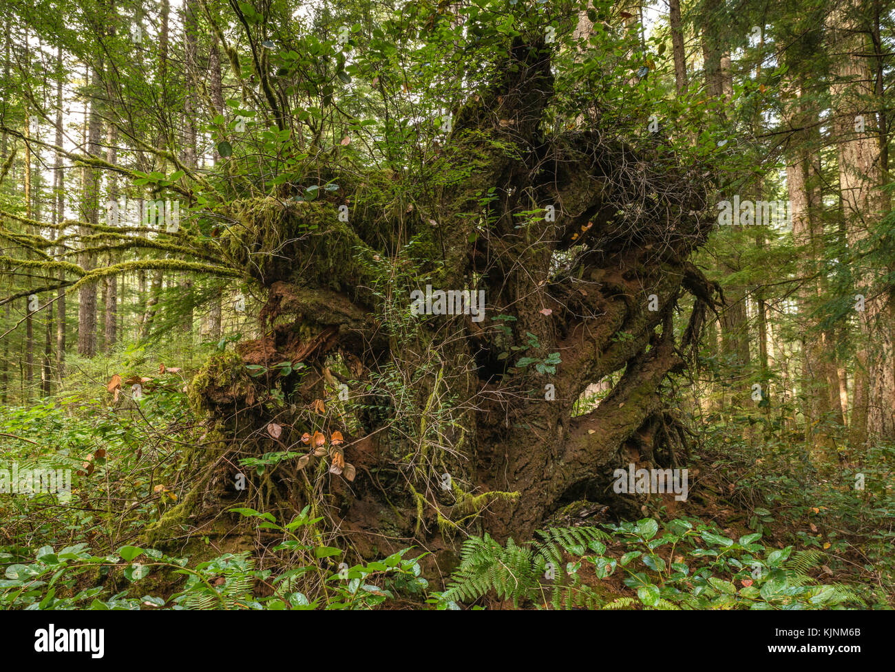 Roots of fallen trees on Sheppard Trail, temperate rainforest near Quathiaski Cove, Quadra Island, British Columbia, - Stock Image