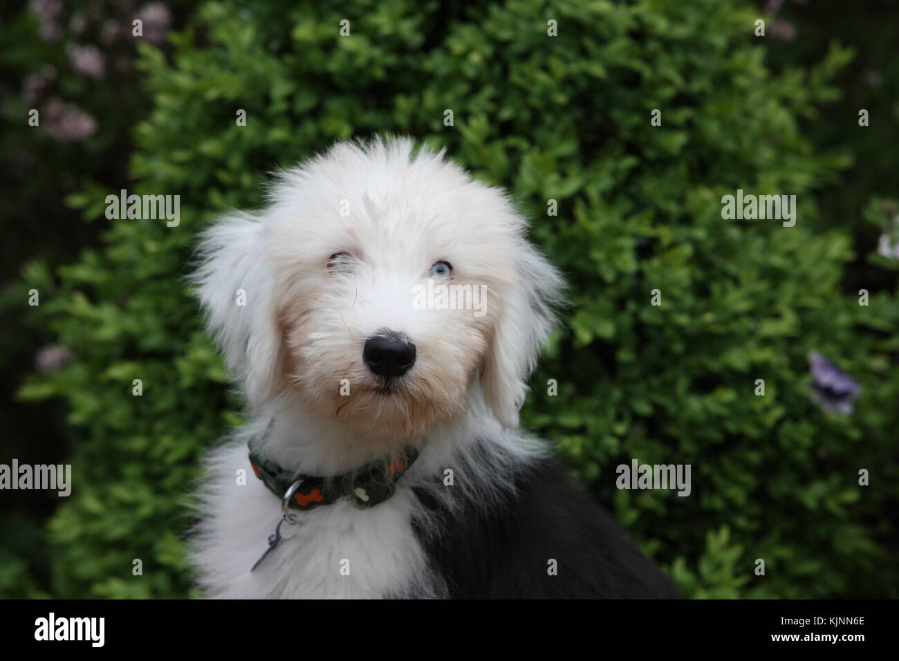 Old English Sheepdog Puppy Stock Photos & Old English