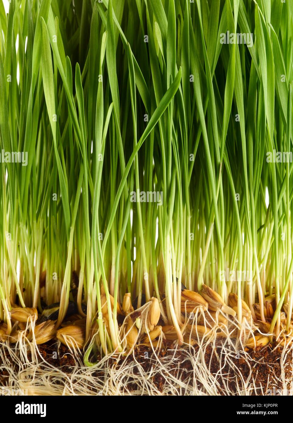 Sprouting wheatgrass against a white background. - Stock Image