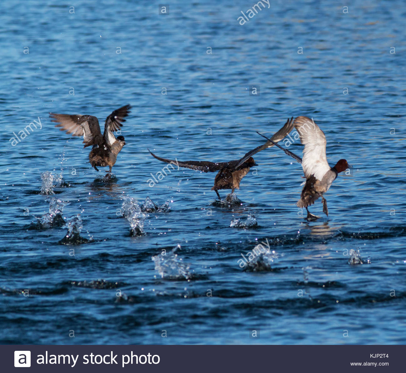 Redheads, Aythya americana, group taking off from water, Arizona USA - Stock Image