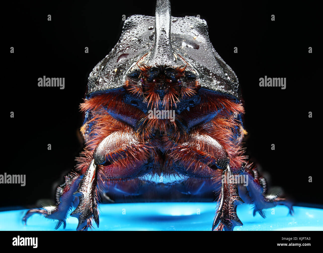 Beetle rhinoceros in the dew in the macro scale. The photo was taken by the method of stacking - Stock Image