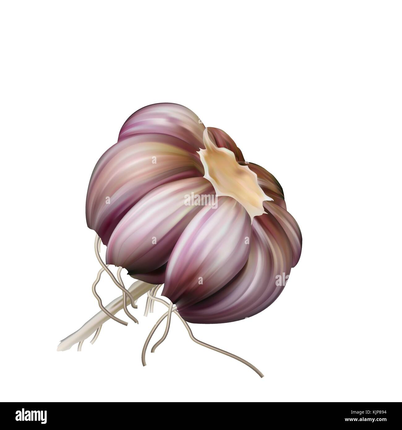 Head of garlic seasoning for spicy dishes and sauces. Garlic on white. - Stock Vector
