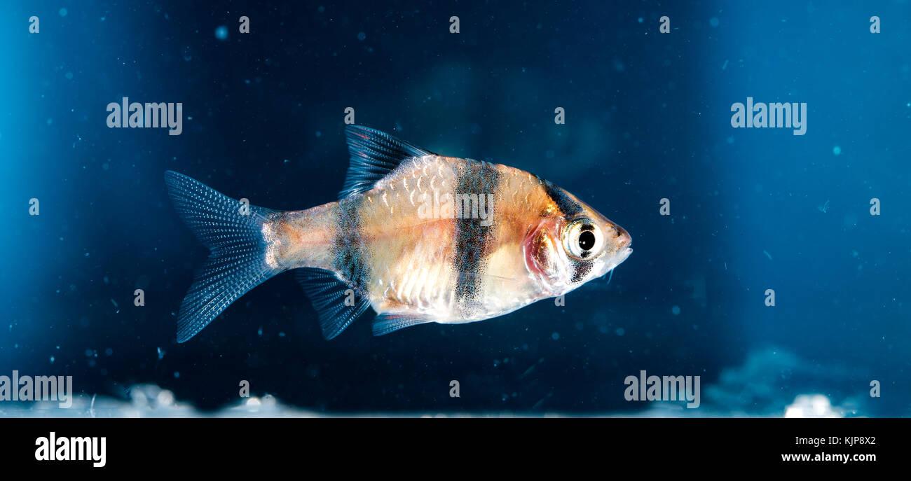 Aquarium fish, Barbus tetrazona Stock Photo