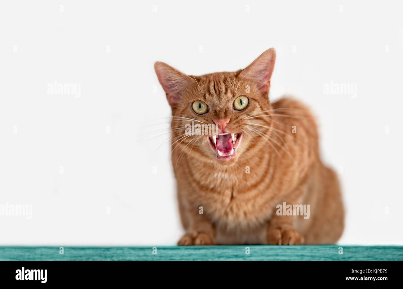 Angry ginger cat hissing to the camera - Stock Image