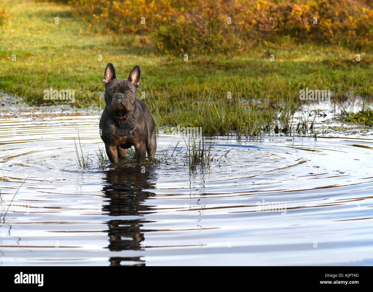 blue french bulldog stood in a stream after playing in the late afternoon sun ,looking int camera with blurred background - Stock Image