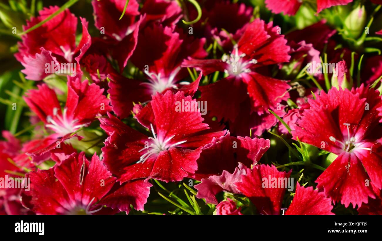 Red Sweet Williams flower Close up - Stock Image