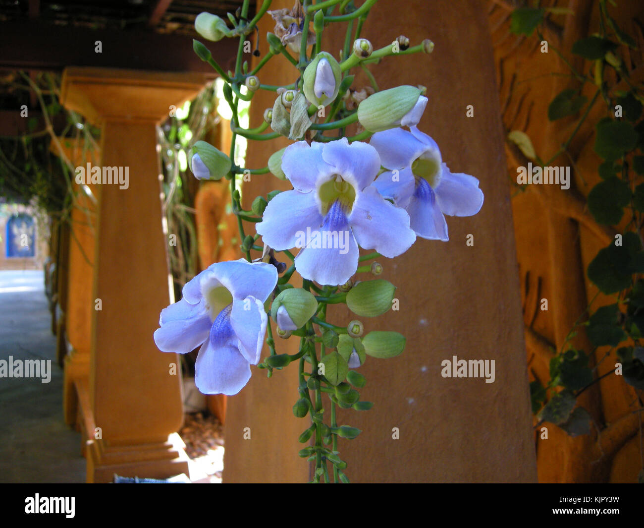 A creeping plant with beautiful blue flowers hanging on this stock a creeping plant with beautiful blue flowers hanging on this pergola hua hin thailand izmirmasajfo Images