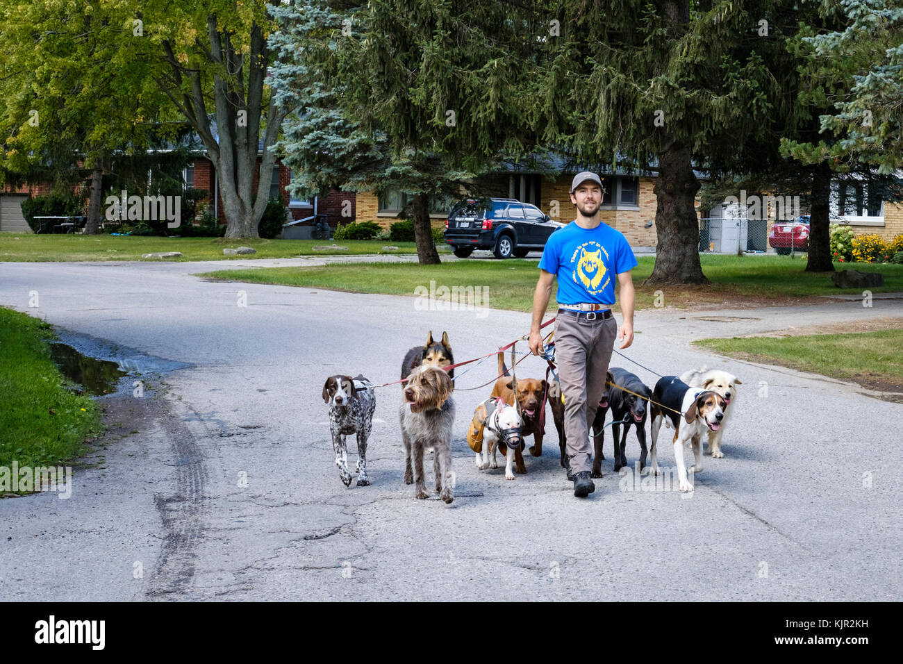 Male professional dog walker in his twenties walking a group of dogs in the street, London, Ontario, Canada. - Stock Image