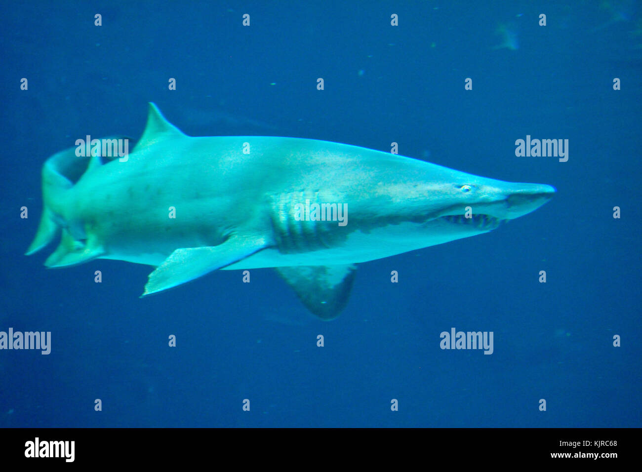Grey Reef Shark (Carcharhinus melanopterus). Stock Photo