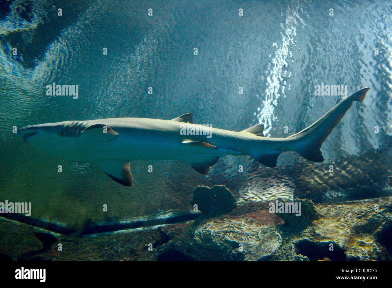 Blacktip reef shark (Carcharhinus melanopterus) is identified by the prominent black tips on its fins. Stock Photo