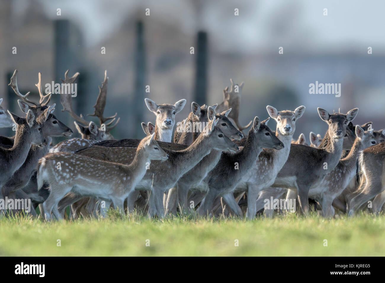 Herd of parkland Fallow Deer(Dama dama)  at Holkham, North Norfolk. - Stock Image