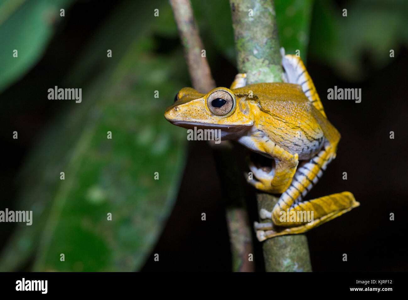 Polypedates otilophus (also known as the File-eared Tree Frog, Borneo Eared Frog, or Bony-headed Flying frog), Kubah - Stock Image