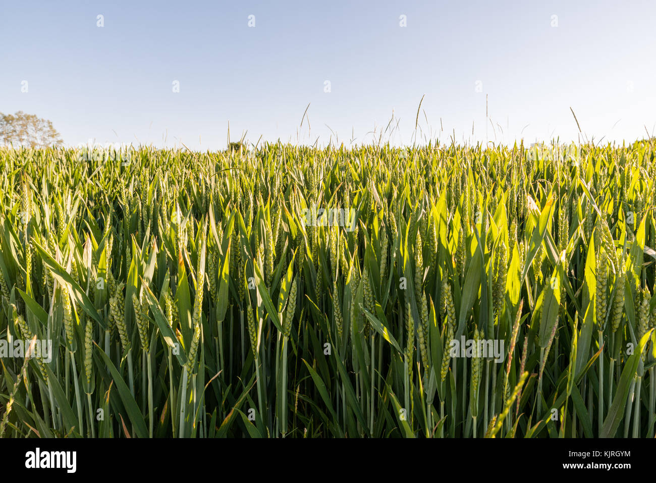 Close up of a wheat field in early summertime - Stock Image