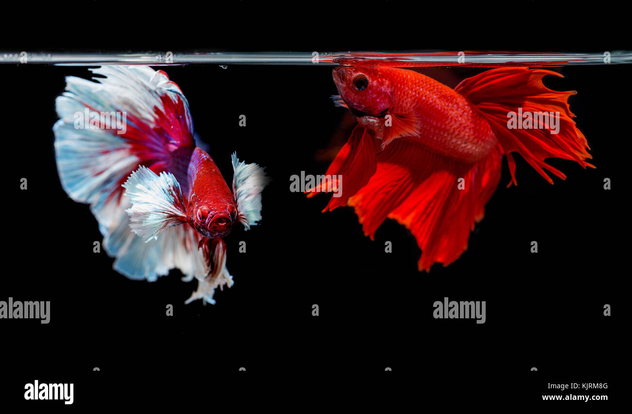 two siamese fighting fish on a black background Stock Photo