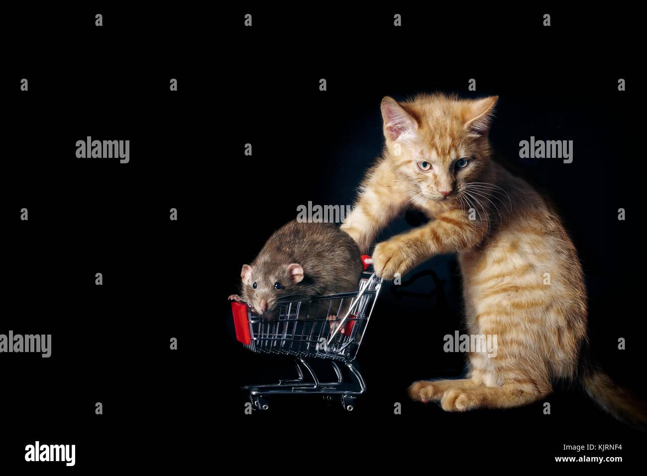 funny tabby cat push a shopping cart with a pet rat in it. - Stock Image