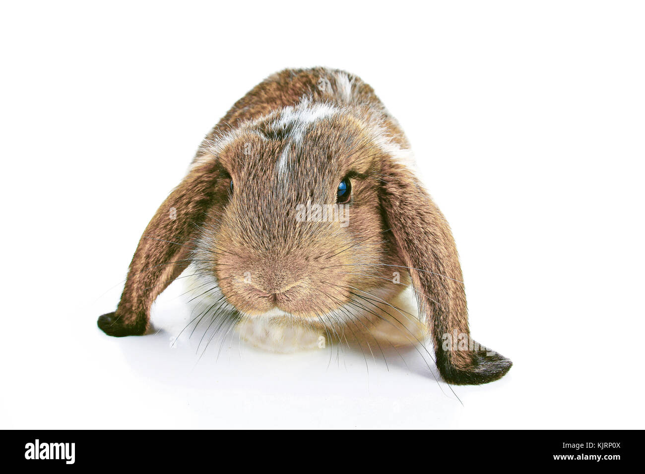 Agouti rabbit lop on isolated white studio background. NHD young baby bunny. Cute lop eared pet rabbit. Cute Animal - Stock Image