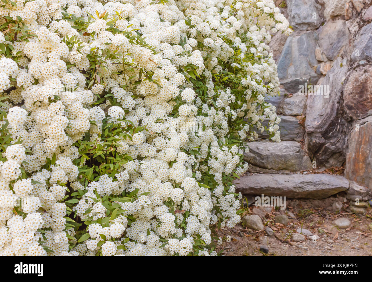 White Spirea Stock Photos White Spirea Stock Images Alamy