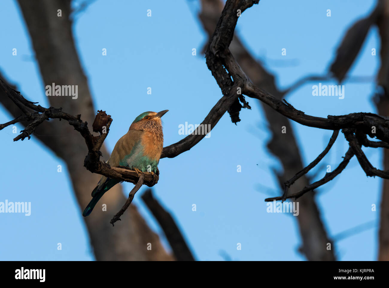 An indian roller perched on a tree branch inside pench tiger reserve - Stock Image