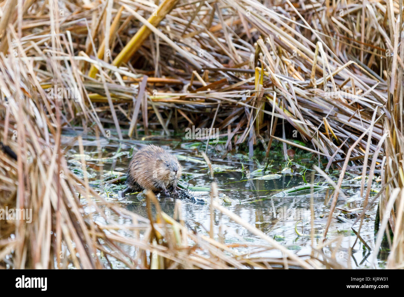 North American beaver sits in a water pool surrounded by hay bushes in autumn - Stock Image