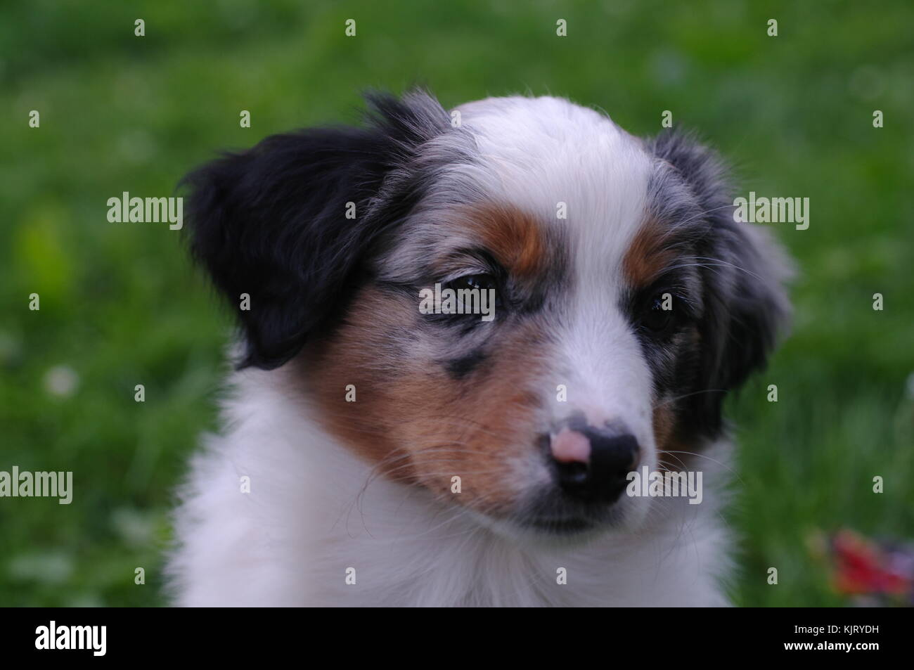 Australian Shepherd Dog Puppy Stock Photo Alamy
