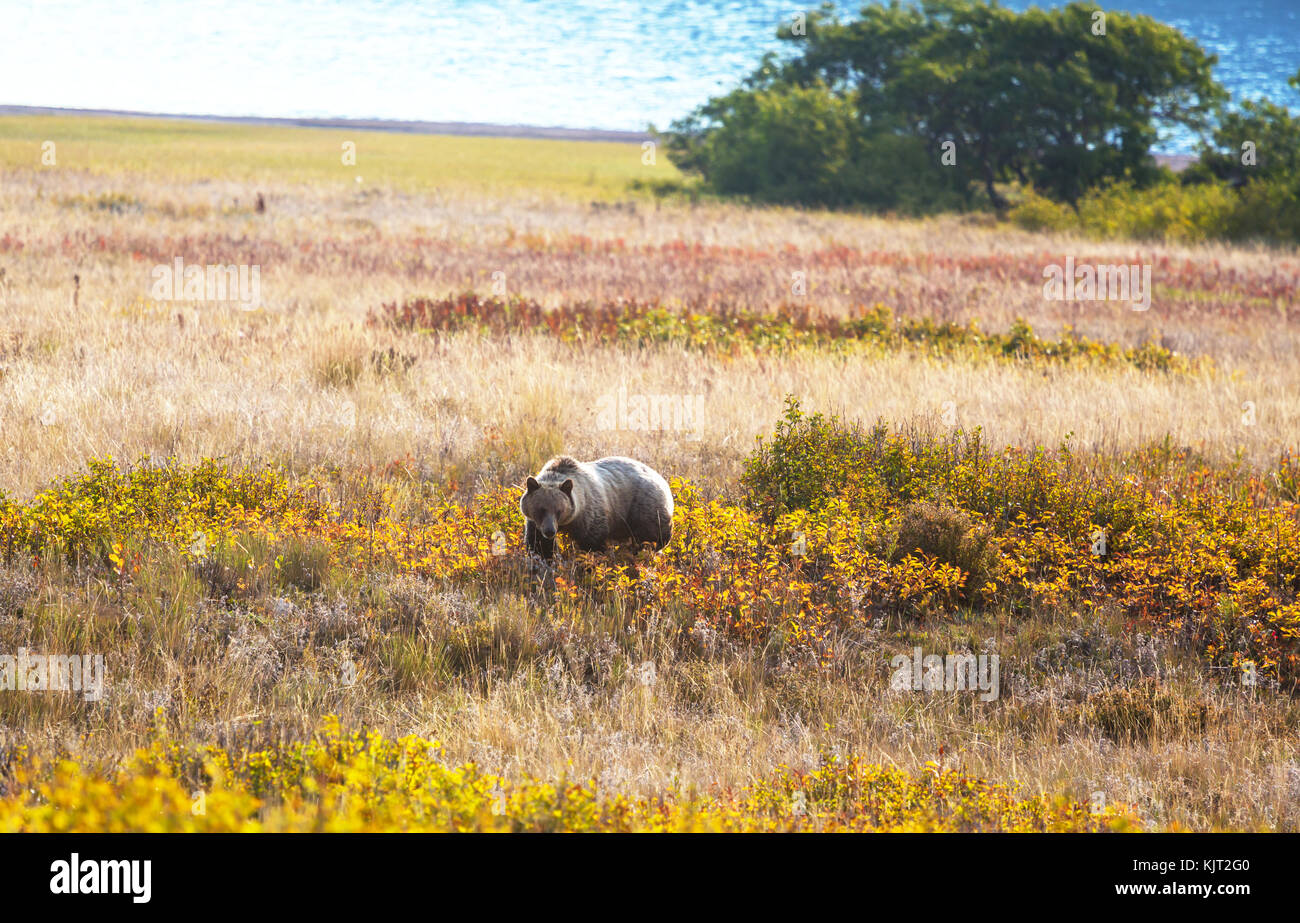Grizzly bear in autumn season - Stock Image
