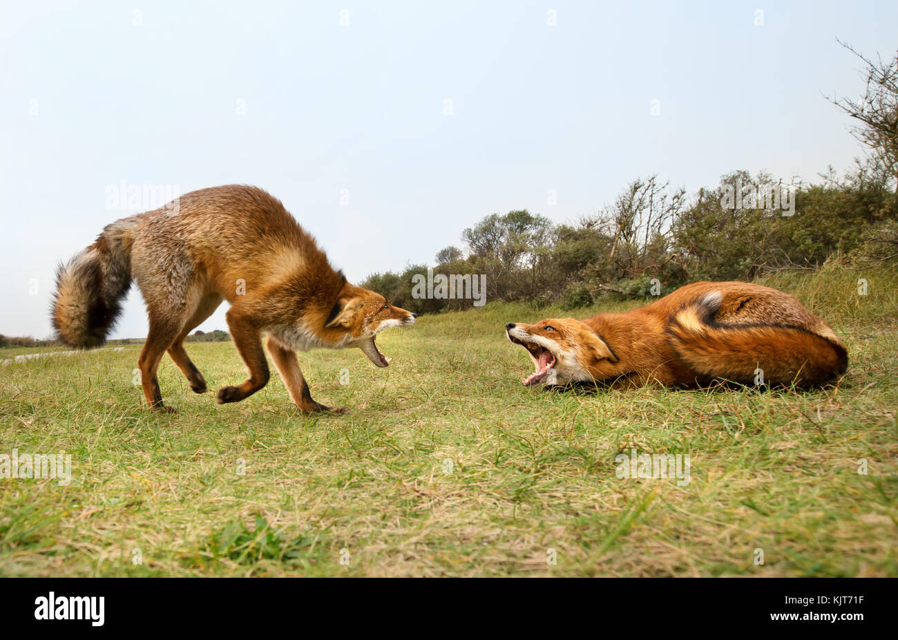 Two red foxes attacking each other and fighting over a territory trying to bite. - Stock Image