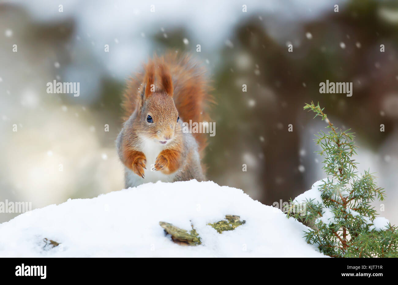 Red squirrel in the falling snow - Stock Image