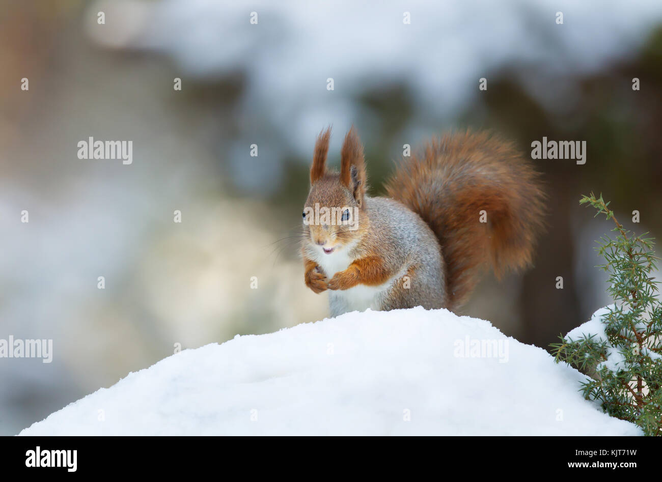 Red squirrel in winter - Stock Image