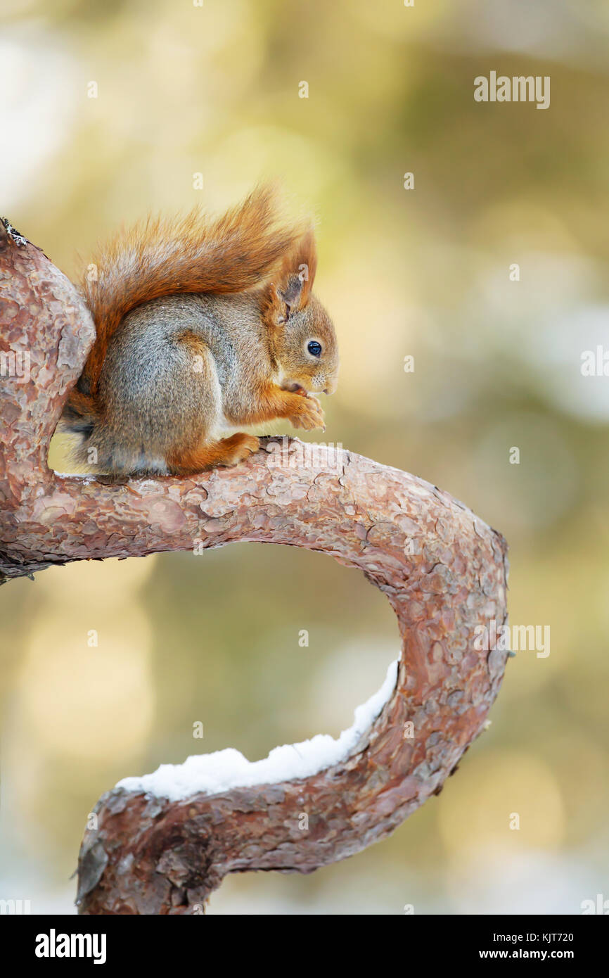 Red Squirrel sitting on a tree branch against colorful background in the forests of Norway. - Stock Image