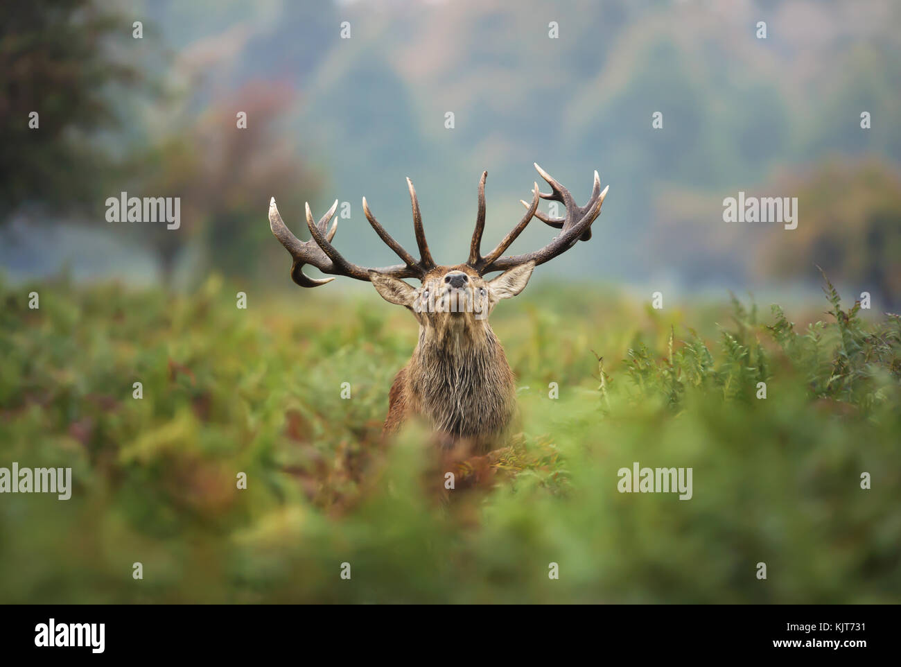 Red deer stag during the rut - Stock Image