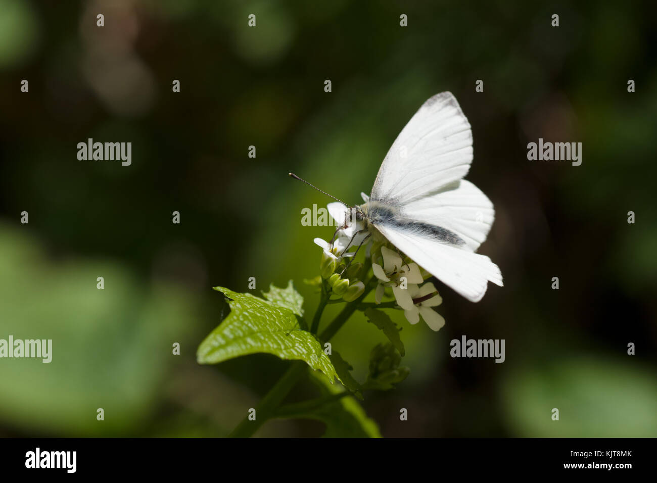 Female orange tip butterfly on Alliaria petiolata Stock Photo