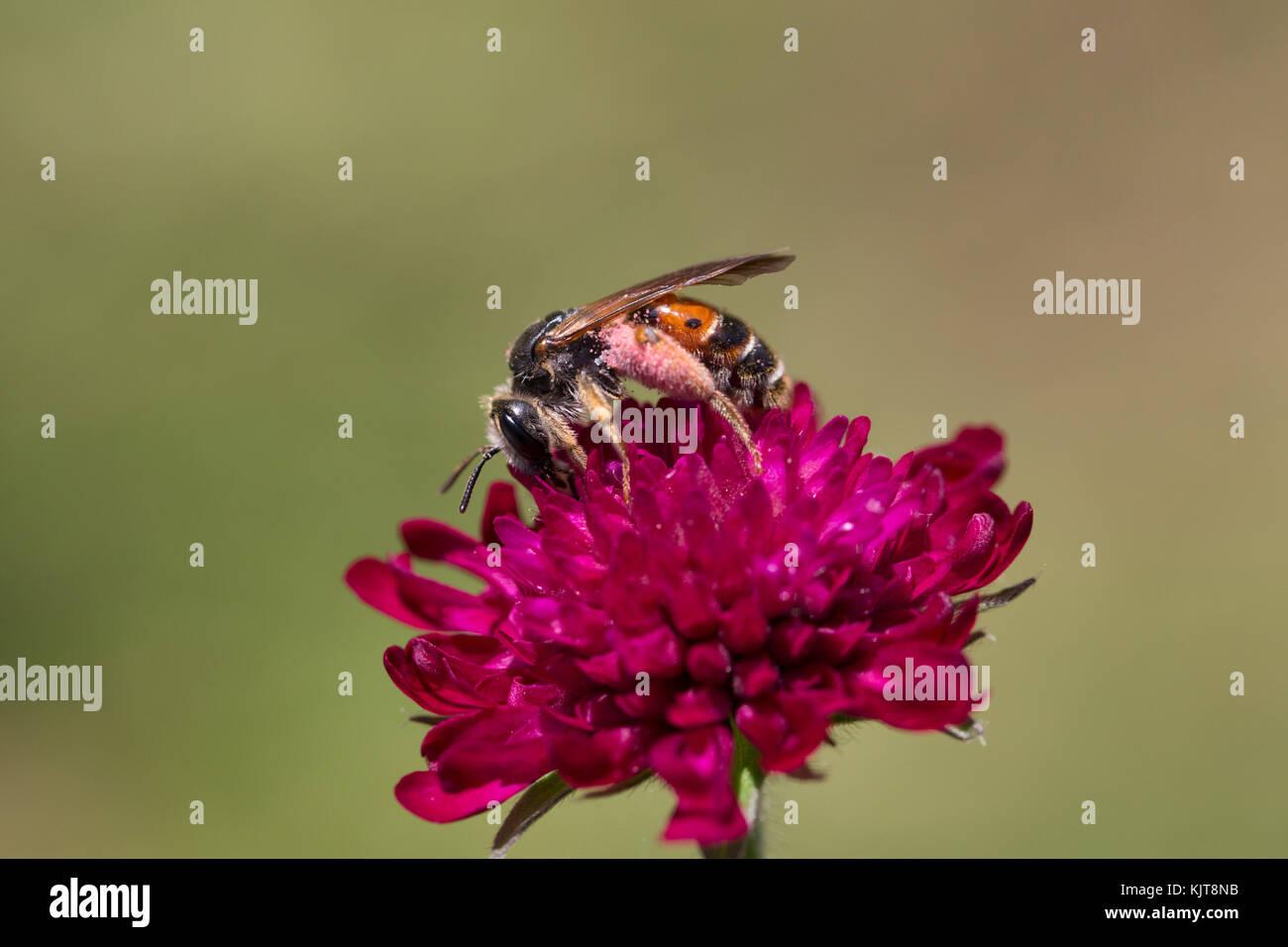 A mining bee (Andrena hattorfiana) on  field scabious (Knautia arvensis) - Stock Image