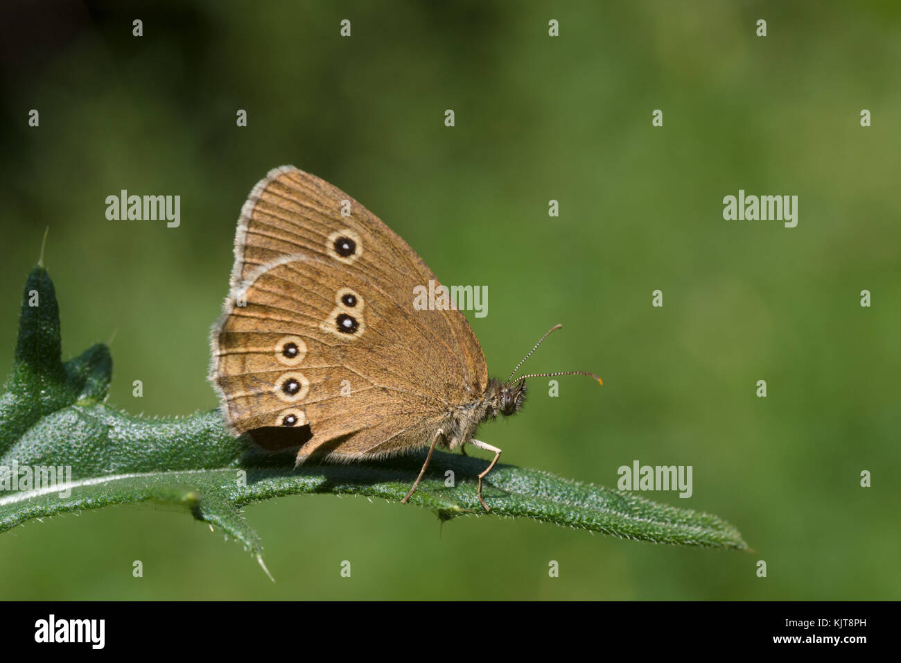 The Ringlet, a butterfly - Stock Image