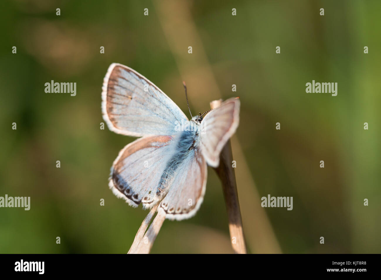 Common Blue, a butterfly - Stock Image