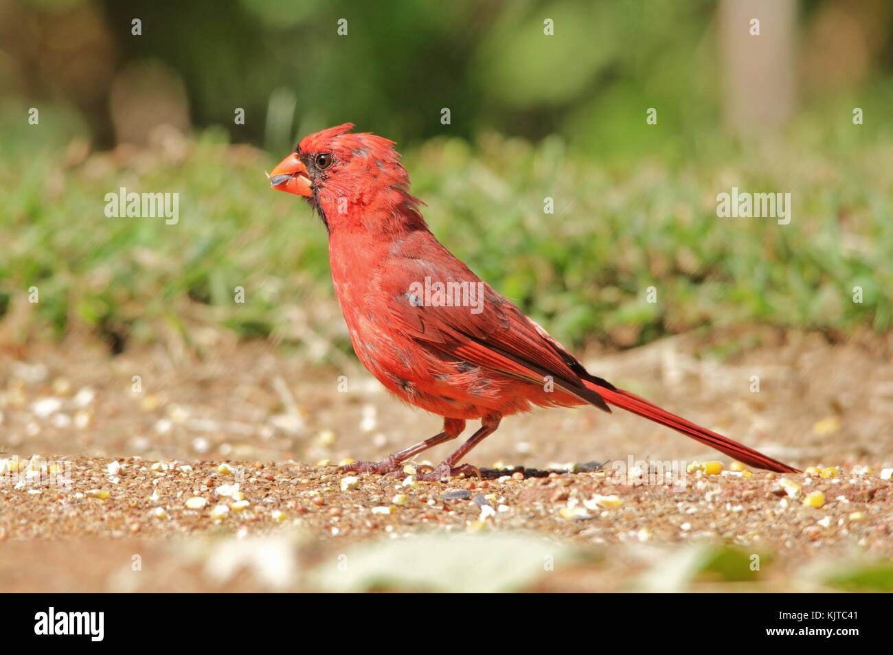 Northern Cardinal - Male of Purest Red Stock Photo