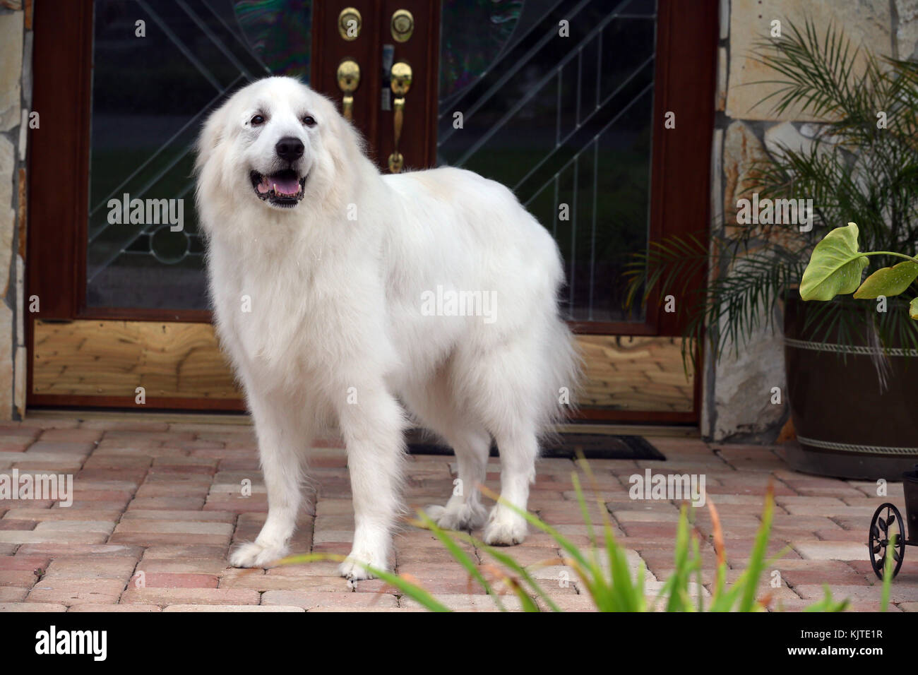 Great Pyrenees Stock Photos & Great Pyrenees Stock Images