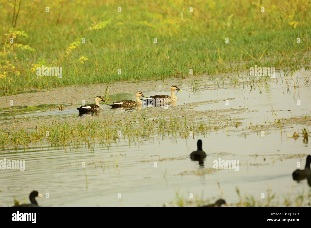 The Indian spot-billed duck is a large dabbling duck which is a non-migratory breeding duck throughout freshwater - Stock Image