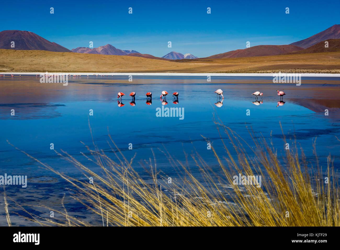 Photo taken in August 2017 in Altiplano Bolivia, South America: Pink Flamingos Laguna Hedionda Altiplano Bolivia - Stock Image