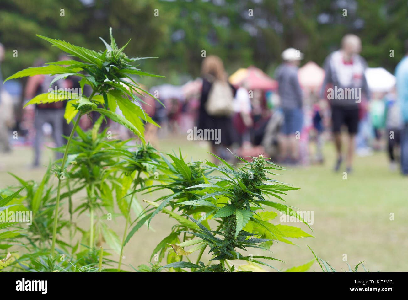 marijuana bush and people - Stock Image
