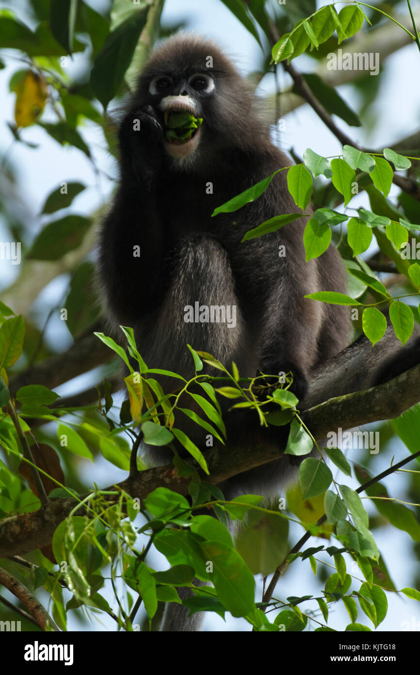 The dusky leaf monkey, spectacled langur, or spectacled leaf monkey (Trachypithecus obscurus) from Malaysia - Stock Image
