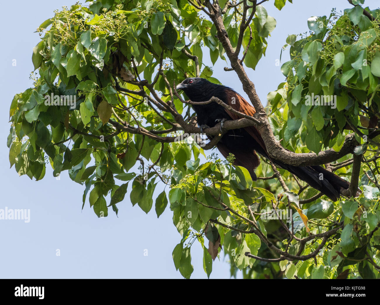 A Madagascar Coucal (Centropus toulou) perched on a tree. Madagascar, Africa. - Stock Image