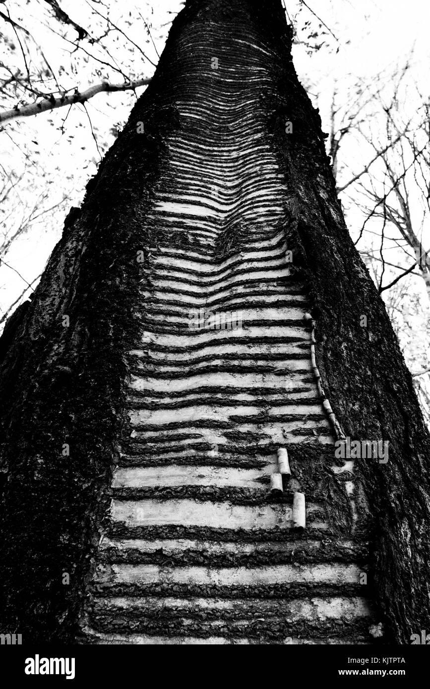 Tree losing the bark - Stock Image