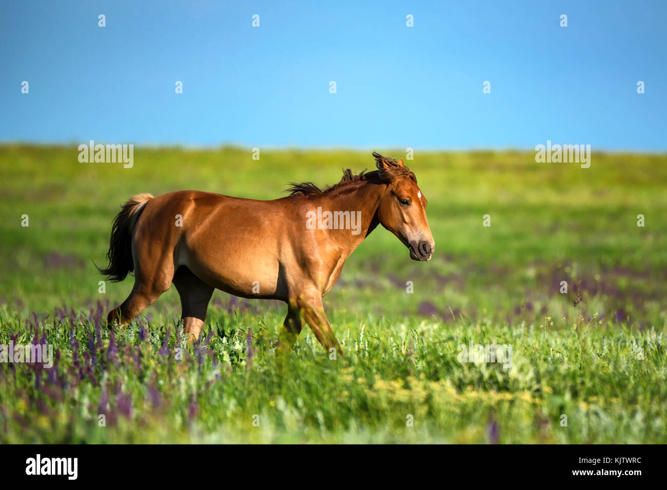 Foal of wild horses grazing on summer meadow - Stock Image