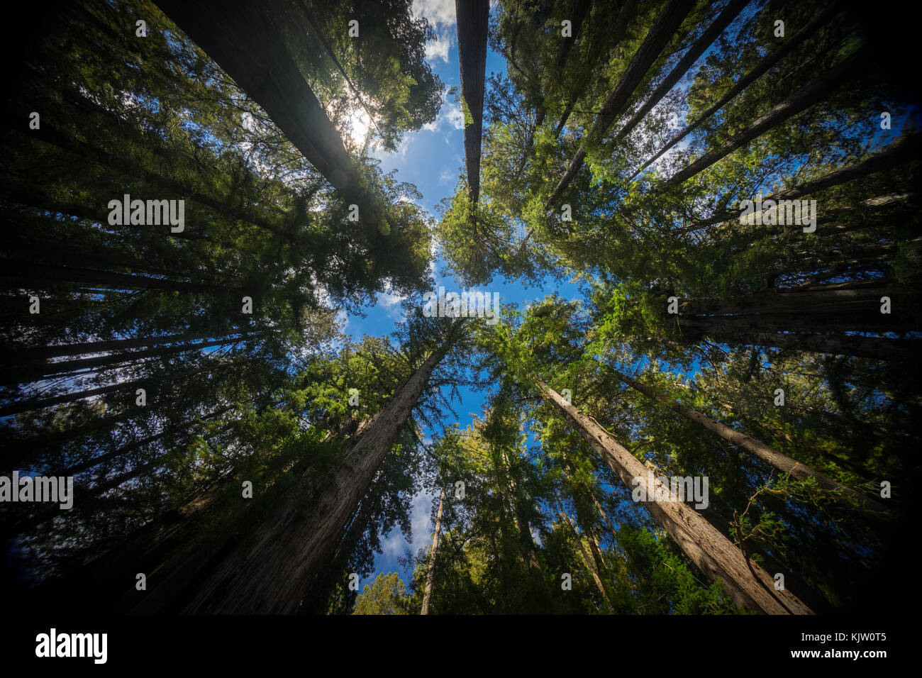 Californian redwoods - Stock Image