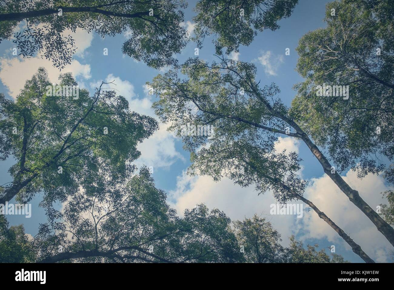 The branches of these huge trees seem to have grown to reach the clouds of the sky. - Stock Image