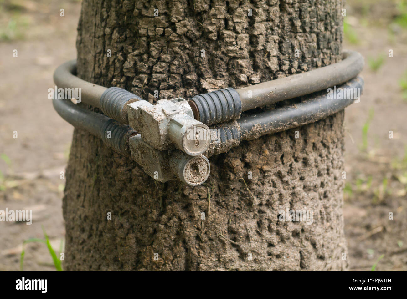 Two bicycle locks were forgotten in one of many trees in a public park and apparently have been a long time in that - Stock Image