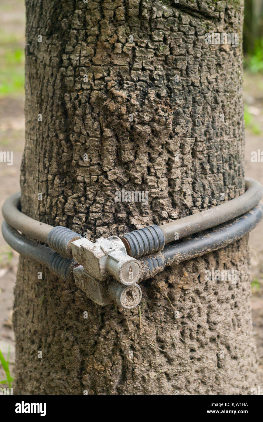 A pair of bicycle locks were forgotten at the base of a tree in a public park making it difficult to locate. - Stock Image