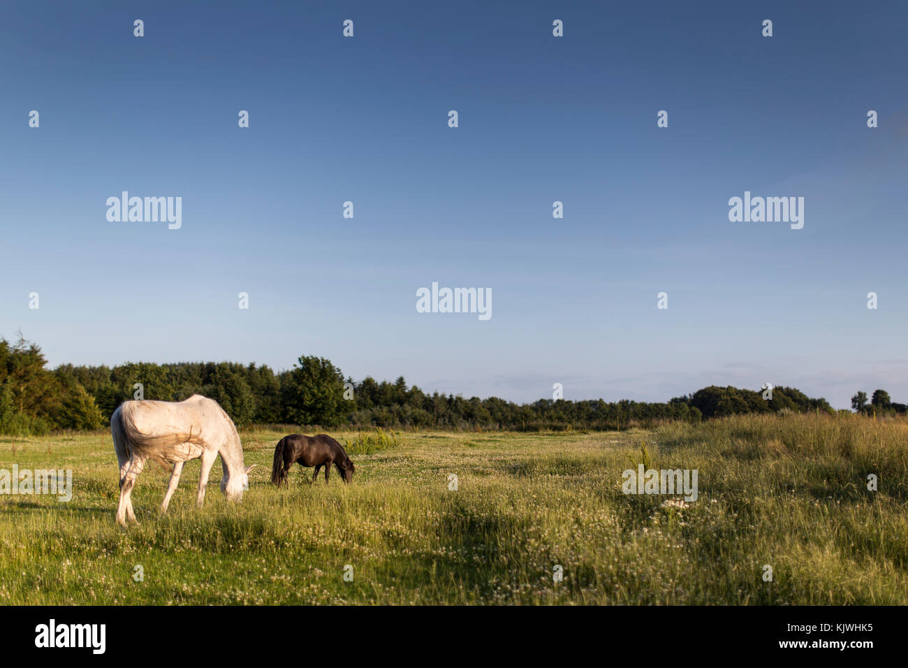 Horse and pony on grass field in summer time. Wideshot - Stock Image