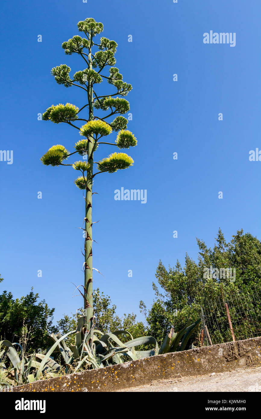 Aloe Vera is blooming with tall and huge yellow flower Stock Photo ...